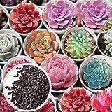 Benoon Sukkulenten-Samen, 600 Stück/Beutel Sukkulenten-Samen Blumenform Saftige, Nicht Gentechnisch Veränderte Balkon-Pflanzensamen Für Den Garten Saftige Samen