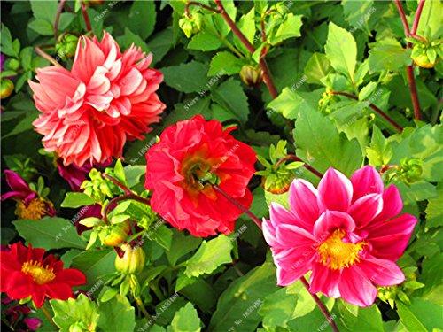 Double Dahlia Seed Mini Mary Fleurs Graines Bonsai Plante en pot bricolage jardin odorant Fleur, croissance naturelle de haute qualité 50 Pcs