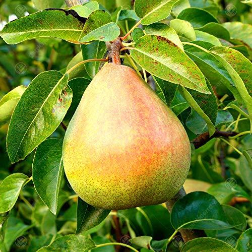Pyrus communis 'Doyenne du Comice' Quince | Comice Pear | Fruit Tree | 5-6ft