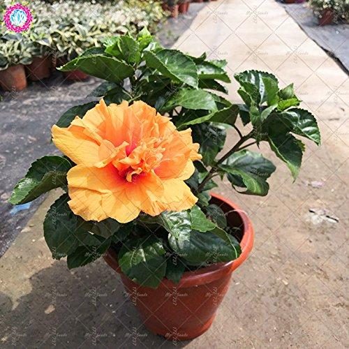 100PCS géant pétales de double graines d'hibiscus rares graines d'hibiscus bleu graines de fleurs Bonsai Plante vivace à l'intérieur pour le jardin à la maison 6
