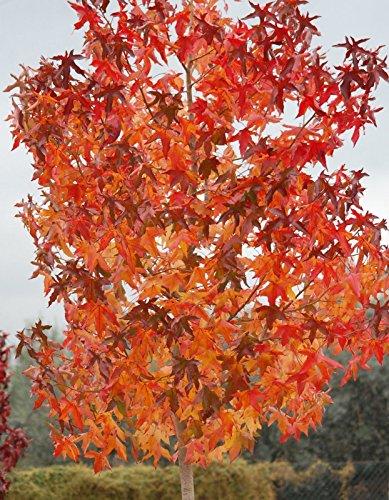 30 semi - Sweetgum americano, Liquidambar styraciflua, semi di albero (Colore di caduta, Hardy, Fast)
