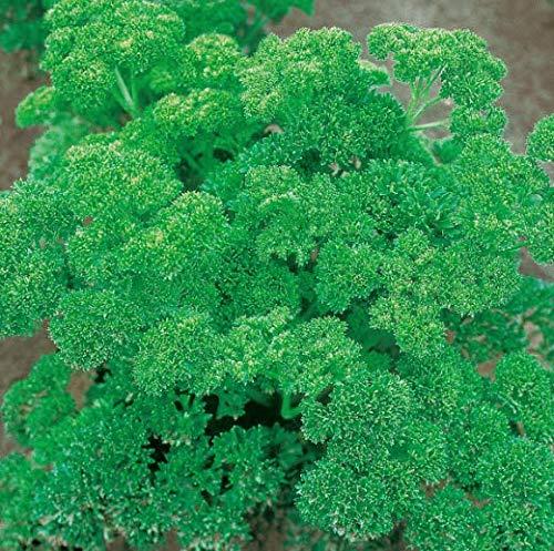 Tomasa Gartensamen- 100 Stücke Petersiliensamen Mooskrause Samen Cilantro Gemüsesamen winterhart mehrjährig Eryngium Foetidum Samen Bio Kräuterpflanzen
