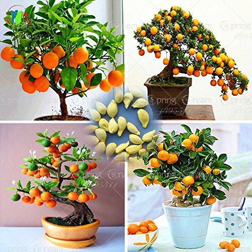 40 / Sac Bonsai Orange Tree Graines d'arbres fruitiers bio pour les planteurs de pot de fleurs très grandes et délicieux