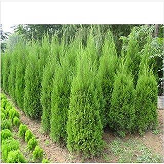 Semillas hotSelling Cypress Bonsai árboles de coníferas Semillas jardín de DIY 20pcs / bolsa