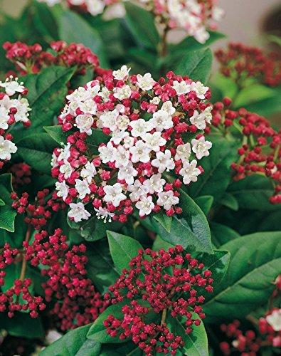 Immergrüner Winterschneeball Gwenllian (Viburnum tinus) - immergrün, weiße Blüten, angenehmer Duft - Winter-Pflanze von Garten Schlüter - Pflanzen in Top Qualität