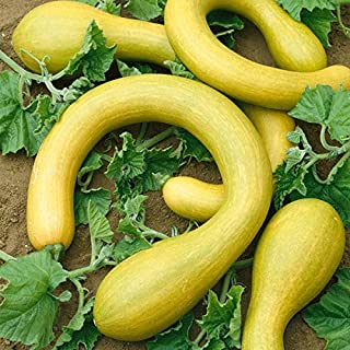 Courgette - Tromboncino - 10 Seeds