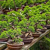 Zoom IMG-2 biobob concime per pianta bonsai