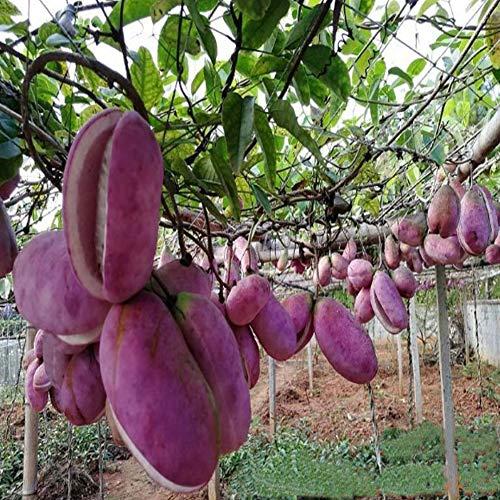 QHYDZ Samenhaus- 50/100pcs Selten Obst Samen Fingerblättrige Akebia Quinata Klettergurke für Garten