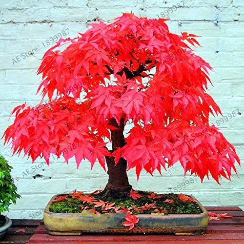 ShopMeeko Semillas: la venta el 100% verdad plantas rojas japonesas Bonsái Plantas Paquete Profesional casa Jardín interior muy hermoso árbol 20PCS: MIX