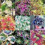 Kisshes Seedhouse - rares 100pcs graines de caladium d'exotisme jardin réels Thaïlande Caladiums en mélange terrasse