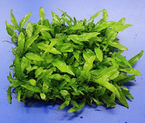 WFW wasserflora Green-Wall XL Javafarn/Microsorum pteropus auf Matte ca. 170x140 mm