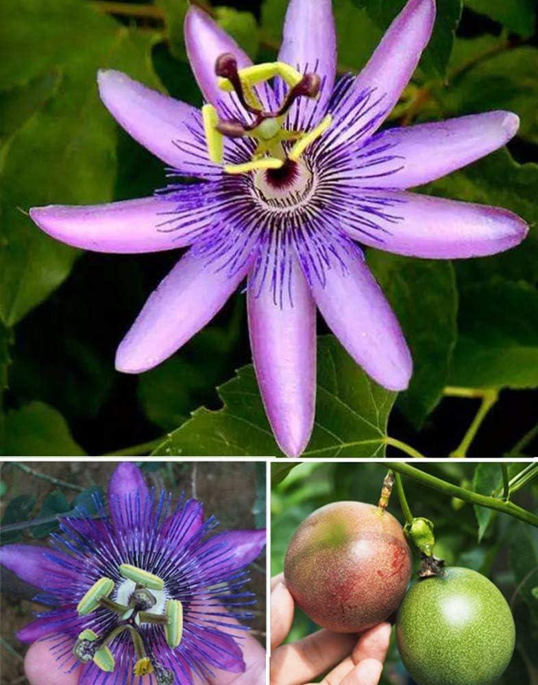 20+ Excellent Purple Passion Vine Flower Al sold out. Incarnata Fruit Seeds Passiflora