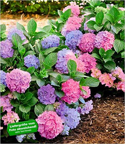 BALDUR Garten Winterharte Freiland-Hortensie L.A. Dreamin® 1 Pflanze Hydrangea
