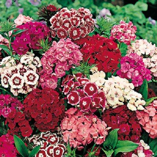50 graines semences fleurs oeillet de poète a fleurs simples odorante pour charmer les papillons abeilles