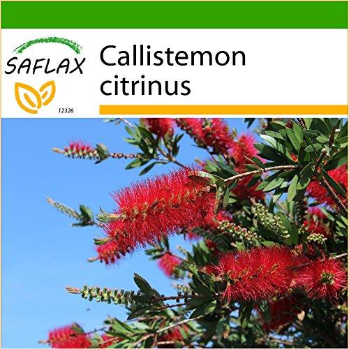 SAFLAX - Callistemo - 400 semi - Con substrato - Callistemon citrinus