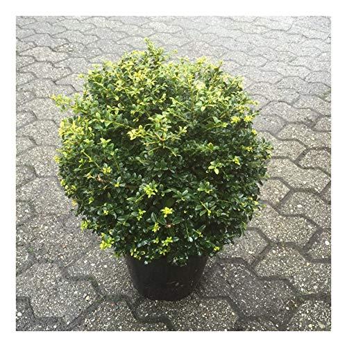 3 x Ilex crenata 'Stokes' Kugel 25-35 cm (Berg Ilex) Buxbaum Buxus Buchs Ersatz ab 24,90 € pro Stück
