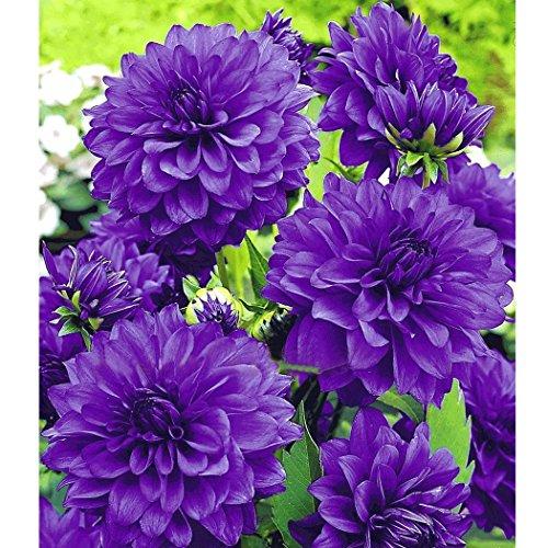 Keland Garten - Selten Pompondahlie variabilis Blumensamen Bio-Saatgut, geeignet für Hintergrundpflanze, Steingärten, Balkon, Terrasse, in Kübeln oder Schalen