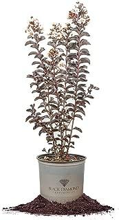 Black Diamond Pure White Crape Myrtle - Size: 3 Gallon, Live Plant, Includes Special Blend Fertilizer & Planting Guide