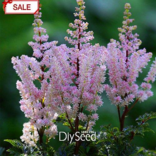 Nouvelle arrivée! Multi-espèces multi-couleurs Astilbe Graines Plantes vivaces à fleurs Graines pot Belle 100 Pcs / paquet, # 7W33G4