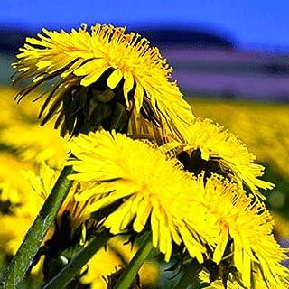 Beautytalk-Garten Echter Löwenzahn Samen Blumensamen Löwenzahn mehrjährig winterhart BIO - Löwenzahn Taraxacum exotische samen