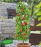 BALDUR-Garten Säulen-Nektarine 'Licecol®'