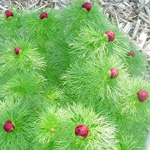 2014 réel très facile Sementes Sementes De Flores Haute Qualité 100% Graines d'origine 10pcs Mix couleur Aquarium plantes