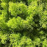 GJS Islandmoos - Moos in 1kg / 500g / 200g, versch. Farben - Echtes konserviertes Natur-Moos (Island) zum Basteln, Dekomoos für die Deko zu Ostern, Modellbau (hellgrün, 500g) - 3