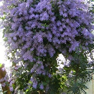 Toyensnow - Queen's Wreath Vine Seeds (Petrea volubilis) (20+ Seeds)