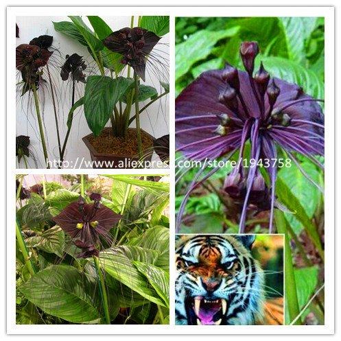 100 / BAG Black Tiger doit Graines Orchid Fleurs, Rare Seed Flower Orchid Garden & Home Plantes