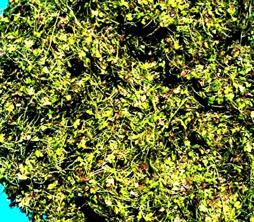 1 Cup Live Duckweed (LEMNA Minor)
