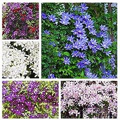 50+Multi Clematis Flower Seeds Bloom Climbing Perennial Flowers Seed Vine Seed