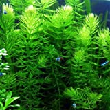 3 Hornwort Bunch Plants for...