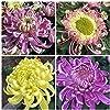 YZztssj 200個菊の種家宝の花ガーデンブルームお手入れが簡単自然成長秋咲く装飾コートヤードテラス