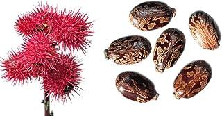 Ricinus communis - Miracle Tree - (Palma Christi) - 50 semillas -