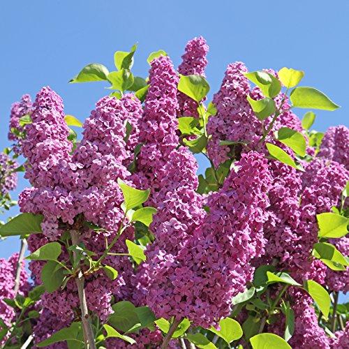 Flieder Syringa vulgaris 80 Samen