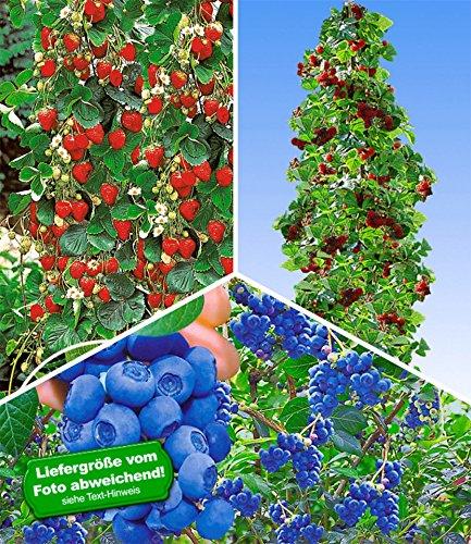 BALDUR-Garten Kletter-Erdbeere® 'Hummi®'& Trauben-Heidelbeere 'Reka Blue' Blaubeeren & Japanische Säulen-Himbeere, 1 Set Vaccinium corymbosum und Fragaria und Rubus phoenicolasius