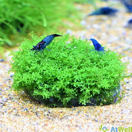 【無農薬】プレミアムグリーンモス丸石付き直径約5cm