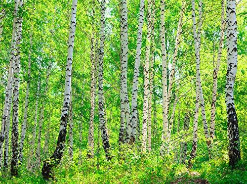 wandmotiv24 Fototapete Birkenwald Größe: 350 x 260 cm Wandbild, Motivtapete, Vlietapete KTk363