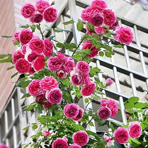 PPink Rosa Seeds 100+ (Wild Rose) Easy Grow Bio-Kletterpflanze Blume Hochwertige Frischpflanzen Samen zum Pflanzen Garten Outdoor Indoor
