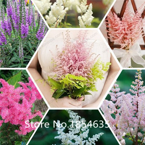 Rayé Rose Bush Seeds - intéressante et belle, longue tige, La Ideal Home Flower Garden 20 Plante Particules / Sac