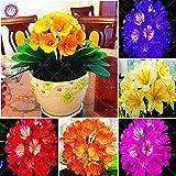 HONIC 100pcs Clivia miniata Bonsai Fiori perenni pianta in Vaso al Coperto Bush Bonsai Fiore di Giglio per Giardino di casa plantas impianto