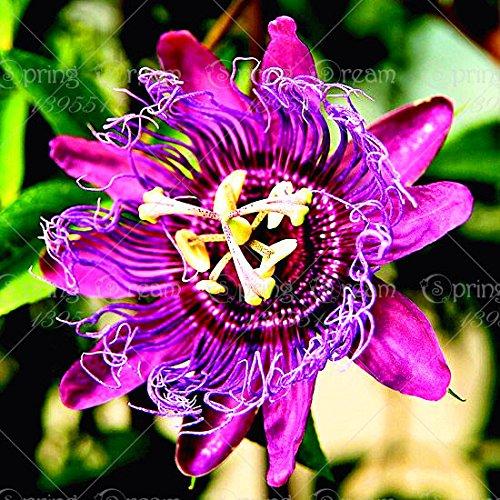 5pcs Passiflore (Passiflora incarnata), plantes exotiques Passion Fruit Graines grenadille pour le mélange de jardin à domicile