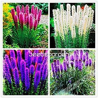 WANCHEN Big Promotion! 100 Pcs/Lot Gayfeather (Liatris Spicata) Flores Bonsai Plant Flower plantas for Home Garden (Seeds not Plants)