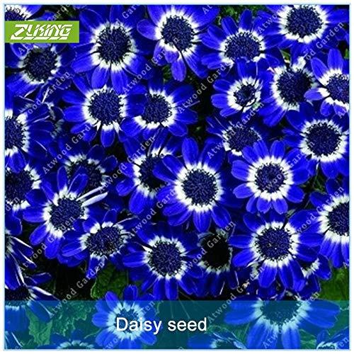 MIYU 100pcs Blaues Gänseblümchen-Blumen-Bonsais Easiest Wachsende Blume Hardy Pflanzen Exotische Zier von mehrjährigen Garten