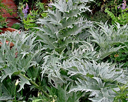 500 Cardy Samen, Kardone, Cynara cardunculus seeds, wilde Artischocke, NEU eingetroffen im Mai 2020