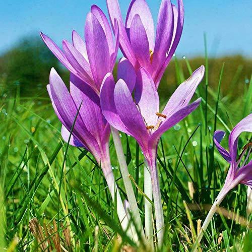 TENGGO Egrow 100 Stück/Pack Safran Krokus Samen Zwiebeln Bonsai Gewürz Sativus Blume für Hausgarten Pflanze