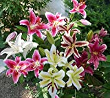 Mixed Oriental Lilies (8 Pack of Bulbs) - Freshly Dug Lily Flower Bulbs