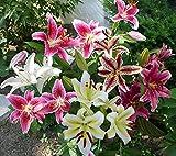 Lilien Zwiebeln (10 Stück) Blumenzwiebeln - Orientalische Mischung - Grösse 14/16 - mehrjährig - winterhart - SAISONWARE - NUR KURZE ZEIT ERHÄLTLICH