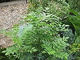 Asklepios-seeds® - 500 Semillas de Glycyrrhiza glabra Regaliz, Orozuz, orosús