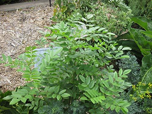 Asklepios-seeds® - 200 Samen Glycyrrhiza glabra, Lakritz, Echtes Süßholz